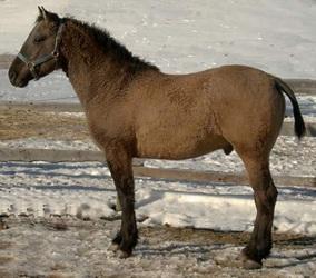 Ursprüngliches Curly Horse
