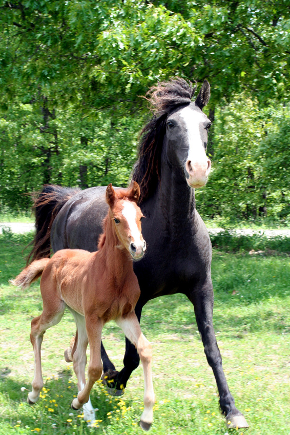 Curly Mare and Foal Galloping