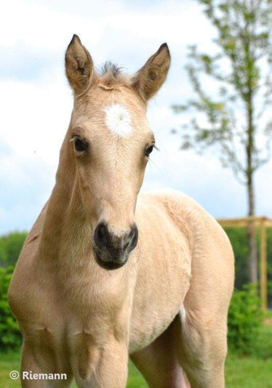 RCHR X Curly Horse Fohlen