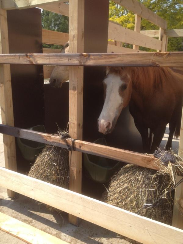 Curly Horses beim Heunetz