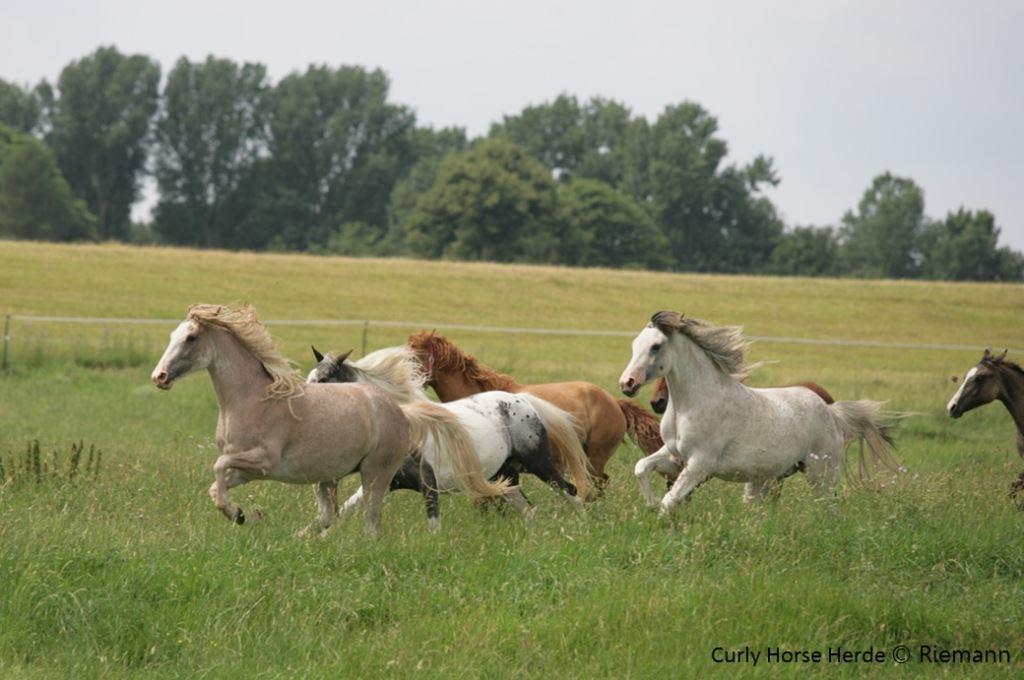 Curly Horse Herde von Familie Riemann